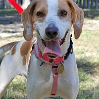 Hound (Unknown Type) Dog for adoption in Cherry Hill, New Jersey - Sunshine