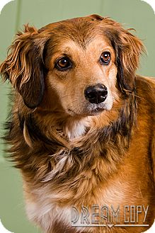 Collie Mix Dog for adoption in Owensboro, Kentucky - Cocoa DRD program