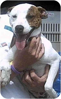 Jack Russell Terrier/Staffordshire Bull Terrier Mix Dog for adoption in Forest Hills, New York - Corky