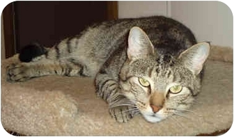 Domestic Shorthair Cat for adoption in Chicago, Illinois - Captain Awesome