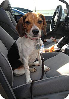 Beagle Mix Dog for adoption in New Richmond, Ohio - Cokie--Pending