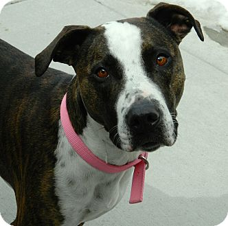 American Pit Bull Terrier Mix Dog for adoption in Cheyenne, Wyoming - Kyann