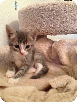 Domestic Shorthair Kitten for adoption in Fountain Hills, Arizona - NICK