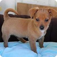 Adopt A Pet :: Wiggles - La Habra Heights, CA