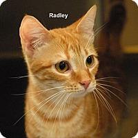 Adopt A Pet :: Radley - McDonough, GA
