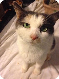 Calico Cat for adoption in Baltimore, Maryland - Splash