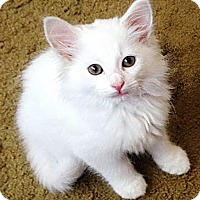 Adopt A Pet :: Arrow - N. Billerica, MA