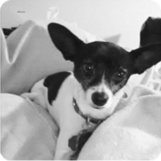 Rat Terrier/Chihuahua Mix Dog for adoption in Houston, Texas - Mona Lisa