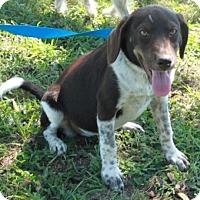 Adopt A Pet :: Hannah - Salem, NH