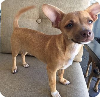 Chihuahua Mix Puppy for adoption in San Diego, California - Donny