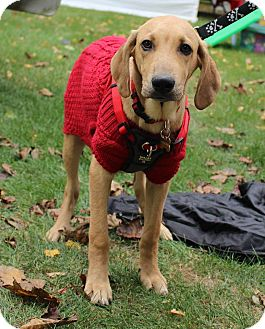 Great Dane Mix Puppy for adoption in New Oxford, Pennsylvania - Else