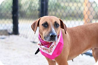 Labrador Retriever Mix Dog for adoption in Peace Dale, Rhode Island - Isabelle