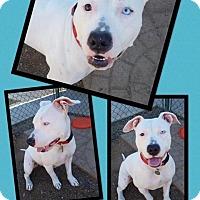 Adopt A Pet :: Bowie - Scottsdale, AZ