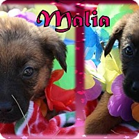 Border Terrier/Dachshund Mix Puppy for adoption in Ringwood, New Jersey - Malia