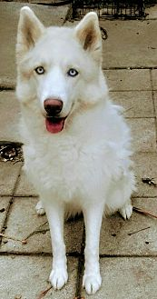 Husky Mix Dog for adoption in Fort Lauderdale, Florida - Khaleesi