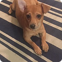 Adopt A Pet :: Foxy - Monrovia, CA