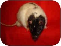 Rat for adoption in Winner, South Dakota - Summit