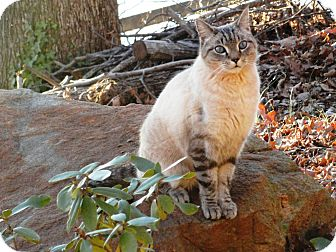Siamese Cat for adoption in Easley, South Carolina - Alberto