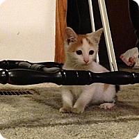 Adopt A Pet :: Muffin - Chilhowie, VA