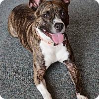 Adopt A Pet :: Chica - Oak Creek, WI