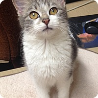 Adopt A Pet :: Sofia - St. Louis, MO