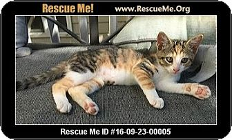 Calico Kitten for adoption in Waldorf, Maryland - Shelly
