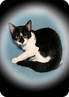 Domestic Shorthair Kitten for adoption in Bradenton, Florida - Tsunami