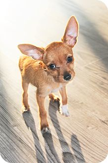 Chihuahua/Terrier (Unknown Type, Small) Mix Puppy for adoption in Agoura Hills, California - Peanut Butter