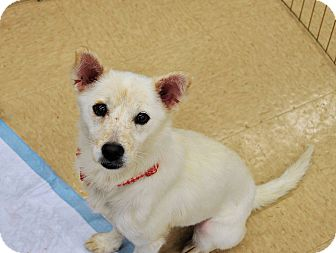 Spitz (Unknown Type, Medium) Mix Dog for adoption in Smithtown, New York - Sparkle