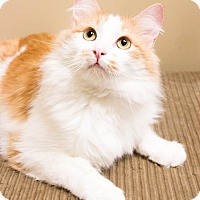 Domestic Longhair Cat for adoption in Chicago, Illinois - Roman
