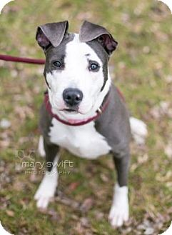 American Pit Bull Terrier/Mixed Breed (Medium) Mix Dog for adoption in Reisterstown, Maryland - Rockette