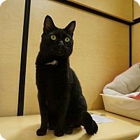 Adopt A Pet :: Shadow - Salem, NH
