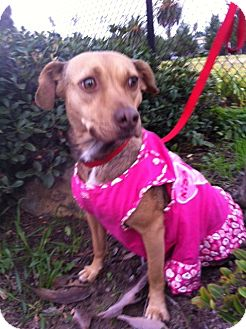Beagle/Miniature Pinscher Mix Dog for adoption in El Cajon, California - Dolce (HW)