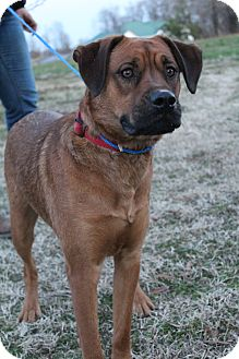 Rottweiler/Boxer Mix Dog for adoption in Wytheville, Virginia - Captain Jack Sparrow