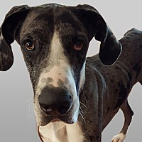 Great Dane Dog for adoption in Broomfield, Colorado - Huck