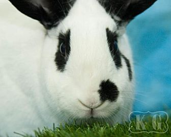 English Spot for adoption in Pflugerville, Texas - Flossie