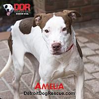 Adopt A Pet :: Amelia - St. Clair Shores, MI