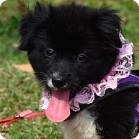 Adopt A Pet :: Olivia - San Ramon, CA