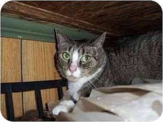 Domestic Shorthair Cat for adoption in North Plainfield, New Jersey - Heather
