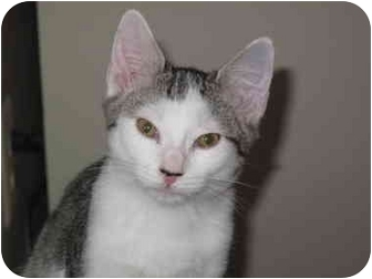Domestic Shorthair Cat for adoption in Port Republic, Maryland - Sully