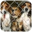 Photo 2 - Beagle Dog for adoption in Portland, Ontario - Bella
