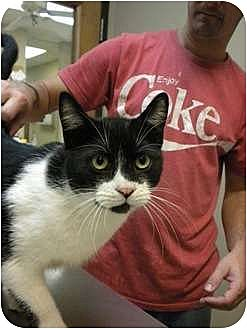 Domestic Shorthair Cat for adoption in Baton Rouge, Louisiana - Simon