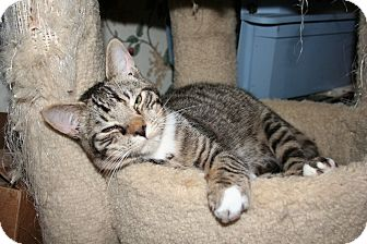 Domestic Shorthair Cat for adoption in Santa Rosa, California - Owens