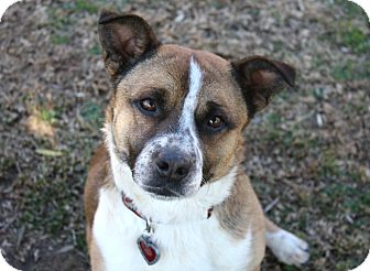 Corgi/Shepherd (Unknown Type) Mix Dog for adoption in Bellflower, California - Ian - I'm a Low Rider!