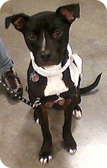 Boxer/American Pit Bull Terrier Mix Dog for adoption in Bellingham, Washington - Mac