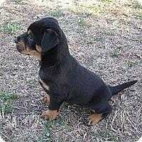Adopt A Pet :: Ice - Copperas Cove, TX
