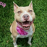 American Pit Bull Terrier Mix Dog for adoption in Lake Charles, Louisiana - Pig