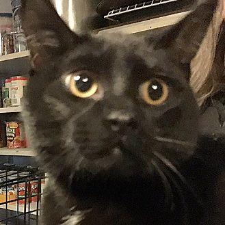 Domestic Shorthair Cat for adoption in Whitehall, Pennsylvania - Sonny