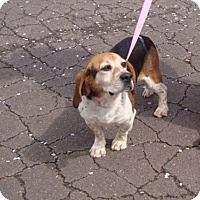 Beagle Mix Dog for adoption in Dumfries, Virginia - Diago