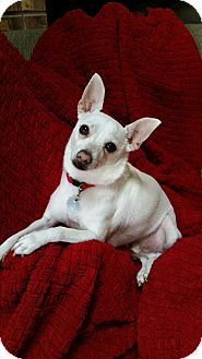 Chihuahua Dog for adoption in Orland Park, Illinois - GUY